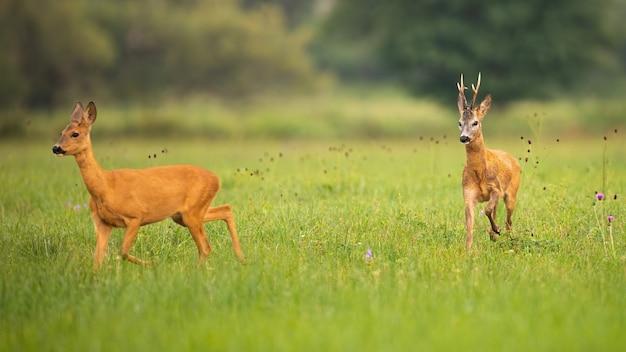 Coppia di caprioli buck e daina nella stagione degli amori in estate