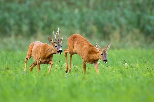 Paia dei caprioli che corrono sul prato nella stagione degli amori.