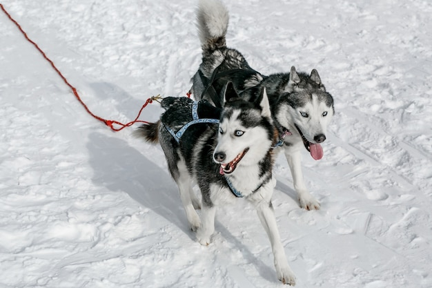 Coppia di piste da slitta cane husky sfruttato paesaggio invernale in una giornata di sole