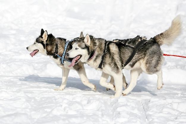 Coppia di piste da slitta cane husky sfruttato paesaggio invernale in una giornata di sole.