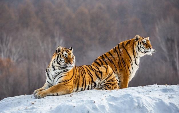 Coppia di tigri siberiane su una collina innevata sullo sfondo di una foresta invernale. parco della tigre siberiana