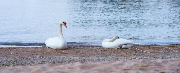 Una coppia di cigni riposano sulla riva sabbiosa del mar baltico.