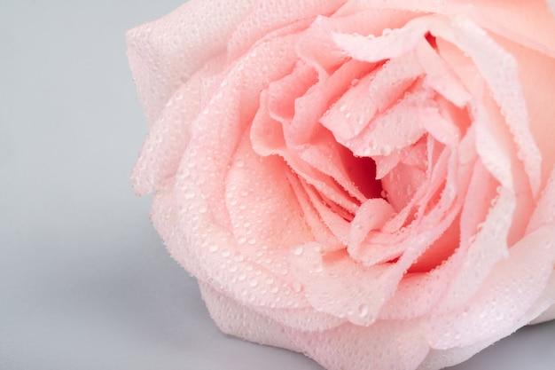 Bocciolo di rosa rosa pallido con gocce d'acqua sui petali