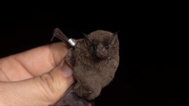Il pipistrello dalla lingua lunga di pallas (glossophaga soricina) è un pipistrello dell'america centrale e meridionale con un metabolismo veloce che si nutre di nettare.