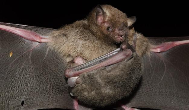 Il pipistrello dalla lingua lunga di pallas