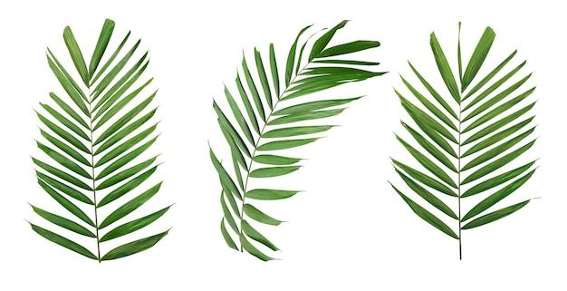 Ramo di foglia di palma verde isolato su sfondo bianco con clippin
