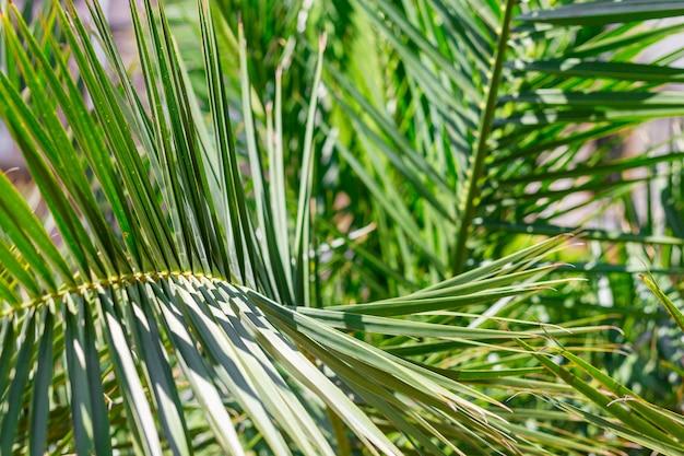 Foglie di palma verdi in tropici, sfondo naturale. concetto di natura.