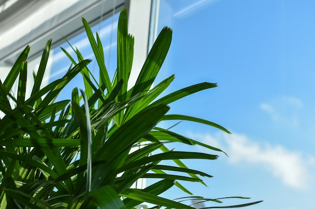 Foglie di palma sullo sfondo della finestra e del cielo blu. pianta verde in un ufficio o appartamento vicino alla finestra