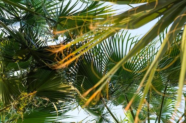 Corone di palme contro il cielo blu. vista dal basso sulle palme. foto di alta qualità
