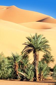 Palma nel deserto con dune di sabbia e cielo blu