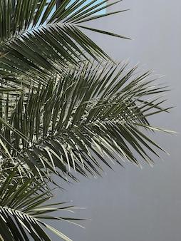 Foglie di palma su sfondo neutro. bella natura tropicale esotica estiva