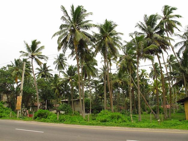 Palme sulla spiaggia dello sri lanka, costa occidentale, oceano indiano