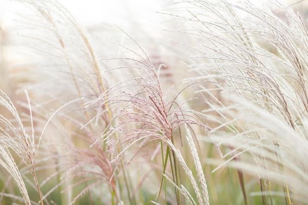 L'erba della pampa nella progettazione del paesaggio dichiarazione di tendenza naturale che fa crescere i fiori