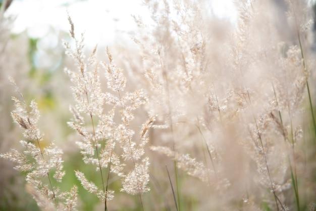 Erba di pampa nel cielo, sfondo naturale astratto di piante morbide cortaderia selloana che si muove nel vento. scena luminosa e chiara di piante simili a piumini.