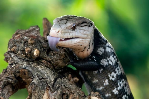 Le lucertole panana sporgono lunghe lingue blu