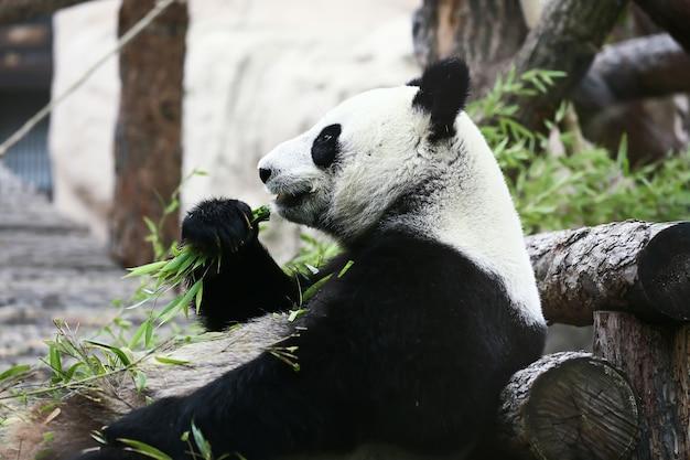 L'orso panda mangia rami verdi
