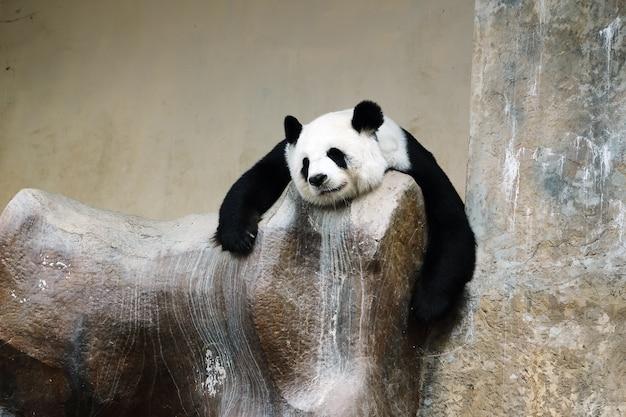 Orso panda riposa