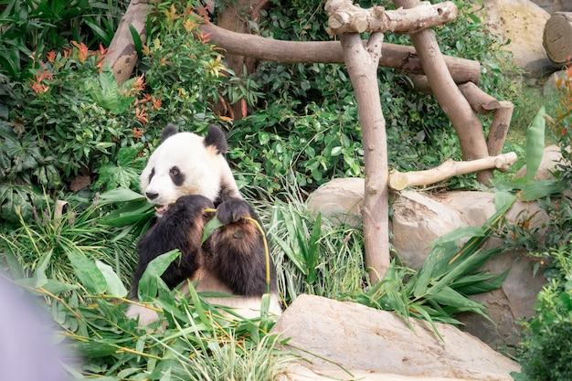 Panda sta mangiando foglie di bambù per pranzo