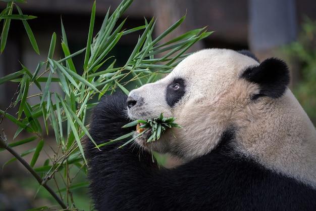 Panda sta mangiando foglie di bambù.
