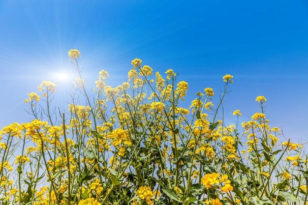 Panorama di campo fiorito, colza gialla