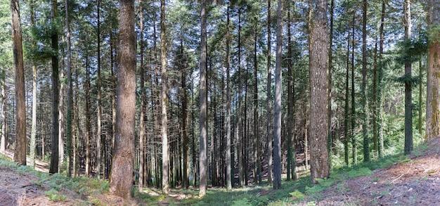 Panorama del paesaggio forestale nella luce del sole di ora legale che splende attraverso i boschi