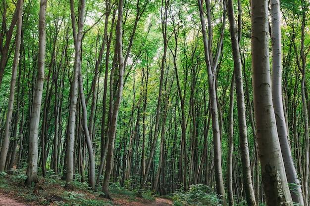 Panorama di una foresta panoramica di alberi decidui verdi freschi
