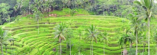 Panorama dei terrazzi del giacimento del riso di tegalalang, bali, indonesia