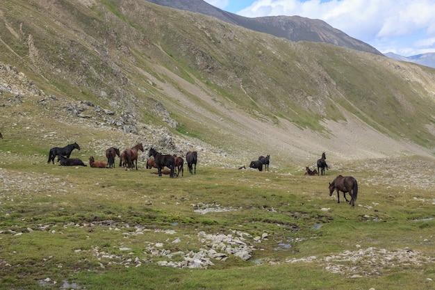 Vista panoramica dei cavalli nelle montagne del parco nazionale dombay, caucaso, russia, europa. cielo blu drammatico e paesaggio estivo soleggiato