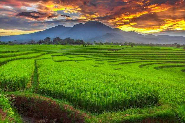 Panorama dei campi di riso giallo con bellissime montagne blu al mattino nel villaggio di kemumu, bengkulu utara, indonesia