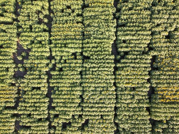 Vista aerea panoramica da drone al bellissimo campo verde giallo con girasoli a priorità bassa della pianta di giorno di estate. vista dall'alto