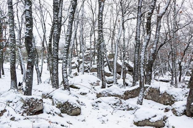 Panoramica del bosco innevato. querce e pini in inverno. a el espinar, parco nazionale sierrra de guadarrama, madrid e segovia.