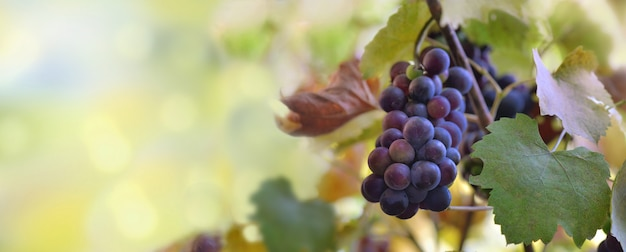 Vista panoramica su un uva nera che cresce in vigna