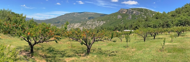 Vista panoramica campo di albicocche nel paesaggio di montagna in provenzale france