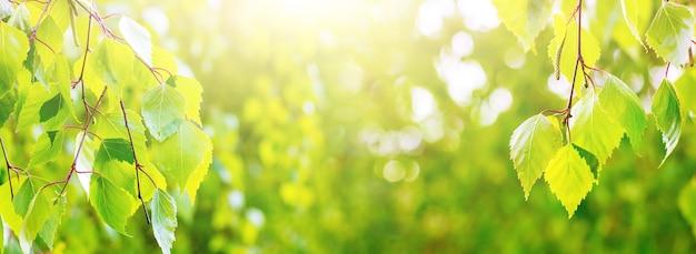 Vista panoramica della natura. giovani foglie di betulla verde sotto il sole con copia spazio_