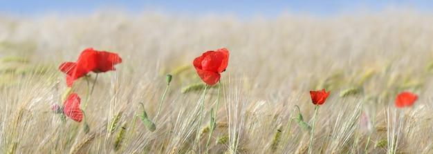 Vista panoramica sui fiori di papaveri rossi che sbocciano in un campo di cereali
