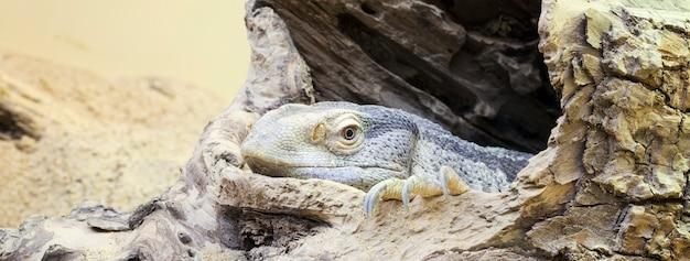 Vista panoramica dell'iguana a riposo