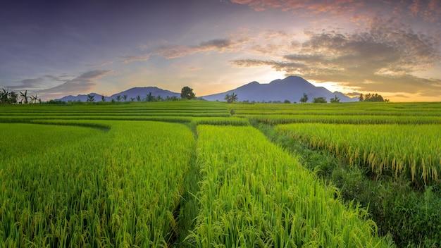Vista panoramica dei campi di riso al mattino con l'ingiallimento del riso al sole del mattino nel nord bengkulu, indonesia