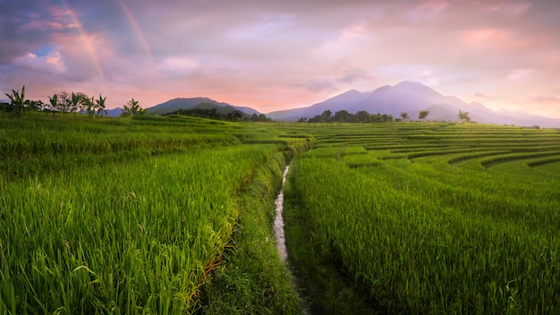 Vista panoramica delle risaie con un bellissimo arcobaleno al mattino