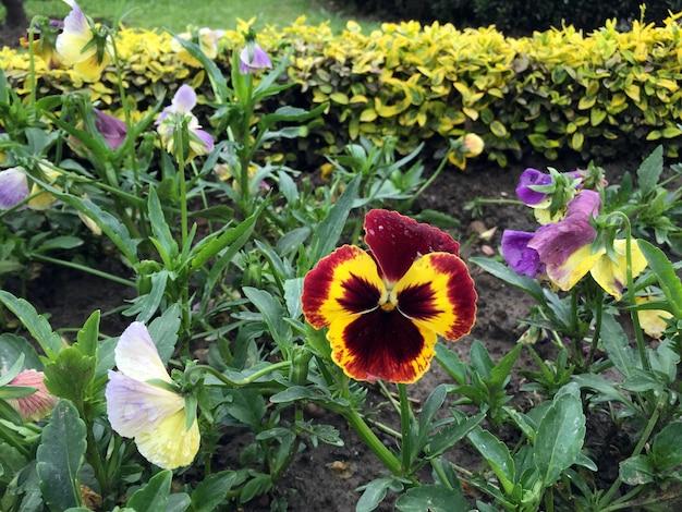 Viole del pensiero giallo chiaro viole del pensiero viole del pensiero fiore viola del pensiero fiore rosso giallo