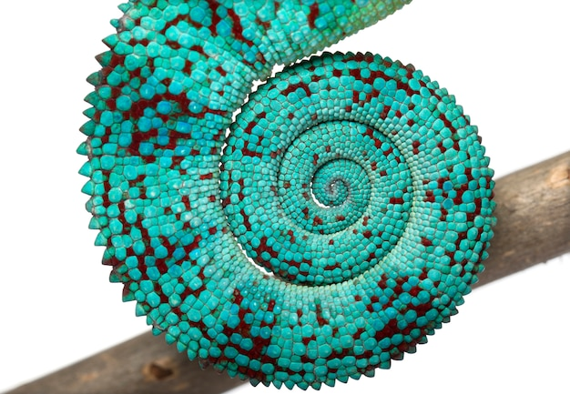 Panther chameleon nosy be - furcifer pardalis