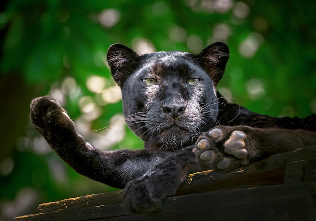 Pantera o leopardo riposano nell'atmosfera naturale.