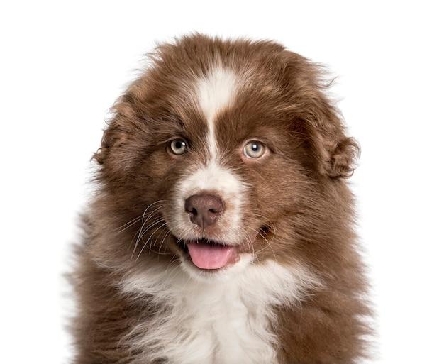 Ansimante cucciolo pastore australiano, 2 mesi, guardando la telecamera contro il bianco