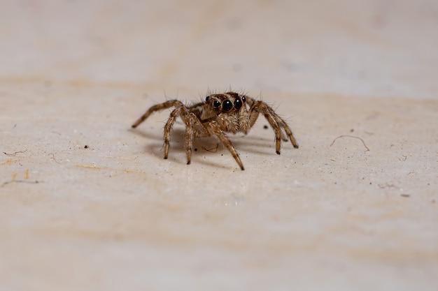 Ragno saltatore pantropicale della specie plexippus paykulli