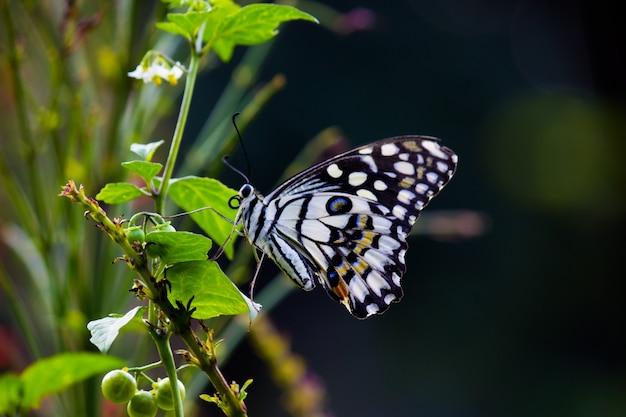 Farfalla papilio o the common lime butterfly in appoggio sulle piante da fiore nel suo habitat naturale