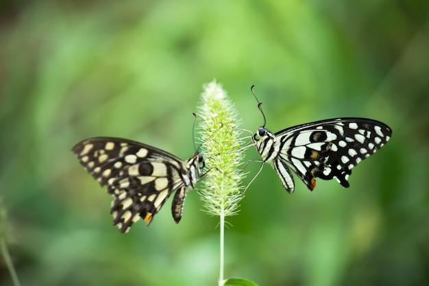 Farfalla papilio o farfalla comune di lime posata sulle piante da fiore nel suo ambiente naturale