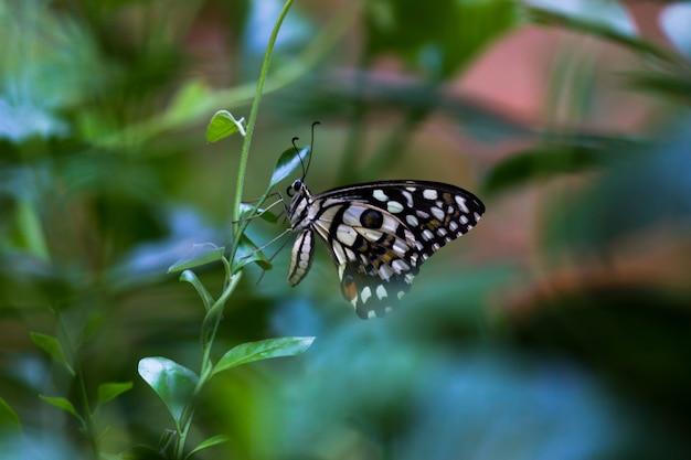 Farfalla papilio o farfalla comune del lime che si siede sulle foglie della pianta
