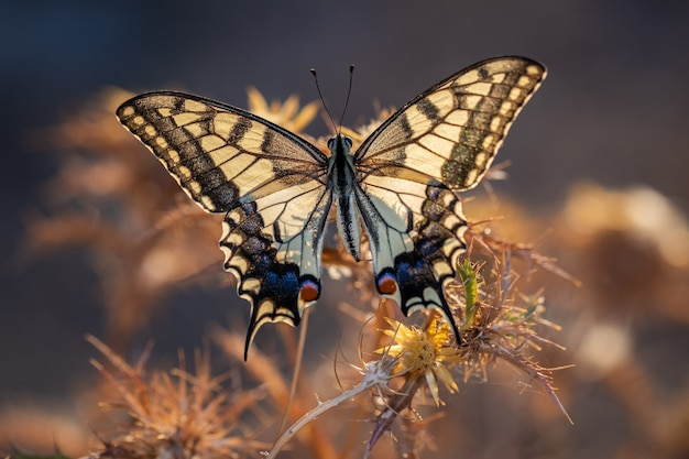 Papilio machaon. butterfly nel suo ambiente naturale.
