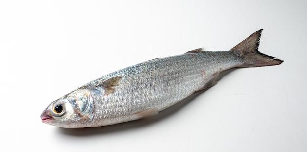 Pesce parati elyialine pesce marino della famiglia mugilidae su una parete bianca