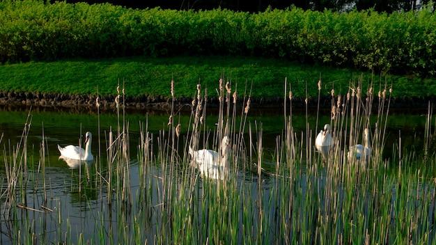Lago del parco con i cigni bianchi. cigni che nuotano sullo stagno tra le canne. bella natura estiva.