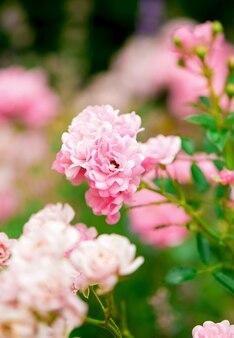 La rosa tifa del parco cresce in giardino in estate